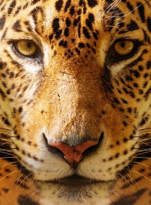 Poster Close-up shot of a gorgeous leopard