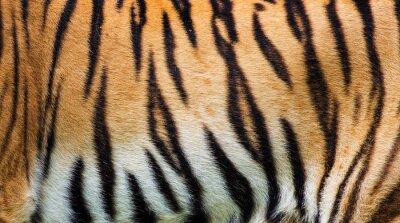 Poster close up tiger skin texture