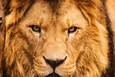 Poster Closeup portrait of an African Lion