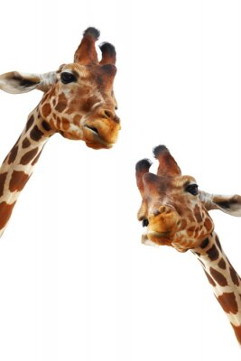 Poster Couple of giraffes closeup portrait isolated on white background