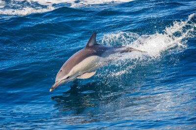 Poster Dolphin jumping outside the sea