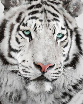 Poster Elegant white tiger portrait