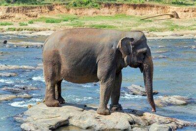Poster Elephant bath in river Sri Lanka