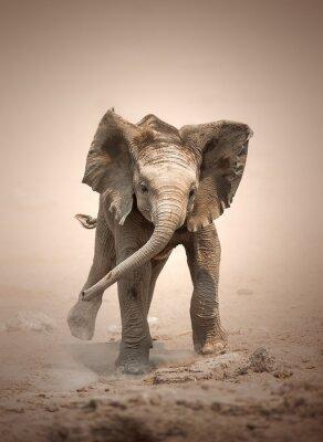 Poster Elephant Calf mock charging