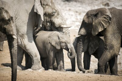 Poster Elephant in Etosha National Park.