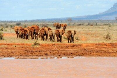 Poster Elephant in National park of Kenya