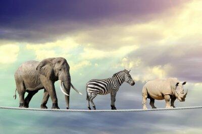 Poster Elephant, zebra, rhino walking on a rope