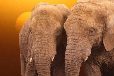 Poster Elephants sunrise. Pair of Elephants together at sunrise.