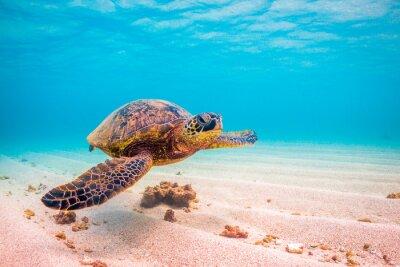 Poster Endangered Hawaiian Green Sea Turtle cruises in the warm waters of the Pacific Ocean in Hawaii