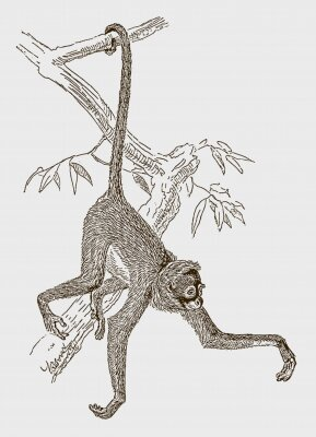 Poster Endangered white-bellied spider monkey (ateles belzebuth) hanging with its tail at a branch. Illustration after an engraving from the 19th century