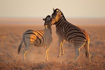Poster Fighting plains zebras, Etosha National Park
