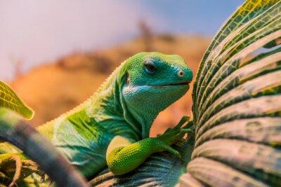 Poster fiji banded iguana