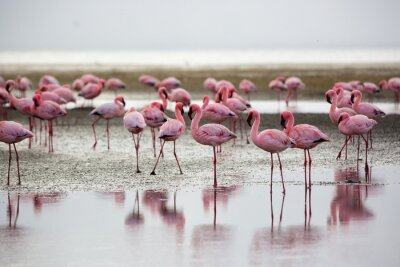Poster Flamingos in Wallis Bay, Namibia, Africa