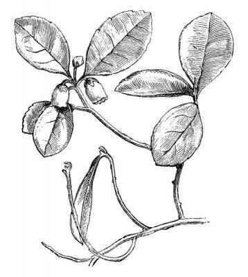 Poster Flowering Branch of Gaultheria Procumbens (Creeping Wintergreen) vintage illustration.