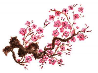Poster Flowering branch of sakura. Isolated on white background