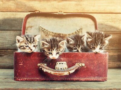 Poster Four kittens in suitcase