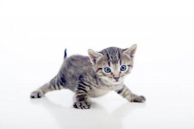 Poster Gatito con las patas abiertas