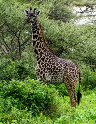 Poster giraffe among the Acacia trees in the Serengeti