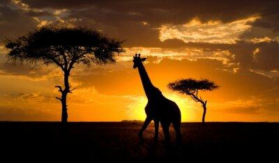 Poster Giraffe at sunset in the savannah. Kenya.
