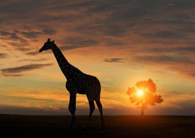 Poster Giraffe during african sunset