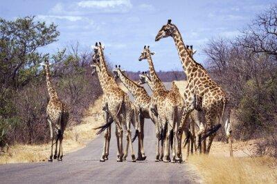 Poster Giraffe in Kruger National park