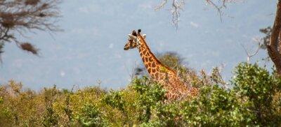 Poster Giraffe in Tsavo East National Park