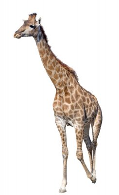 Poster Giraffe isolated on white background