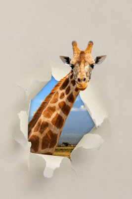 Poster Giraffe looking through a hole torn the paper
