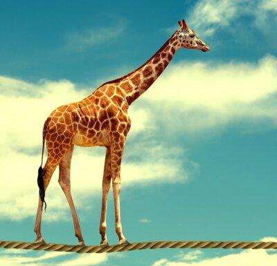 Poster giraffe on rope