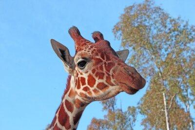 Poster Giraffe photo