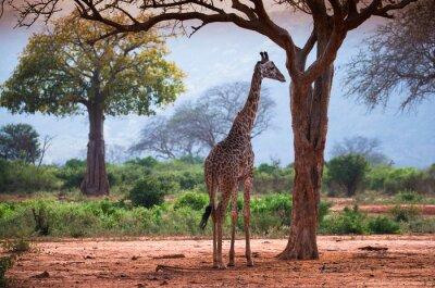 Poster Giraffe with baobab tree