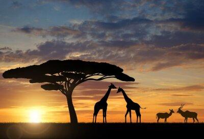 Poster Giraffes with Kudu at sunset