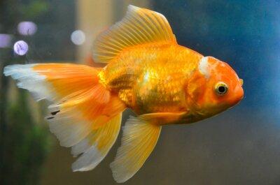 Poster Gold fish, goldfish underwater