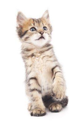 Poster  Gray kitten played.