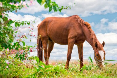 Poster Grazing brown Horse on the green Pasture with a beautiful nature