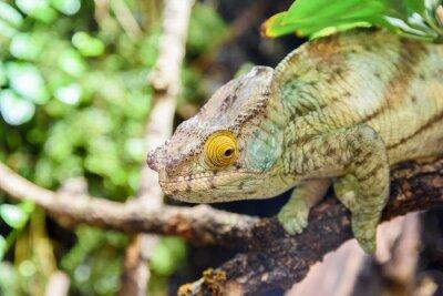 Poster Green Chameleon Lizard On Branch