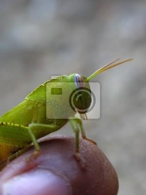 green grasshopper 4