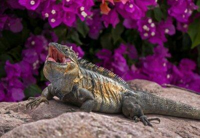 Poster Green Iguana (Iguana iguana) sunning on a rock