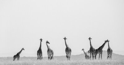 Poster Group of giraffes in the savanna. Kenya. Tanzania. East Africa. An excellent illustration.