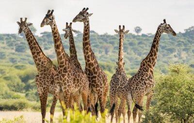 Poster Group of six giraffes in Tarangire National Park, Tanzania