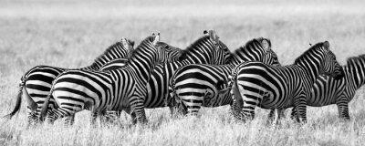 Poster Group of zebras in the savannah. Kenya. Tanzania. National Park. Serengeti. Maasai Mara. An excellent illustration.