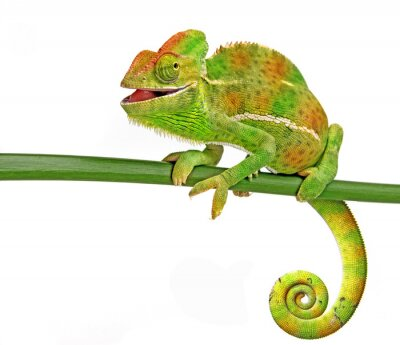 Poster happy chameleon