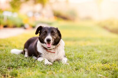 Poster Happy dog lying in green grass with extending paws