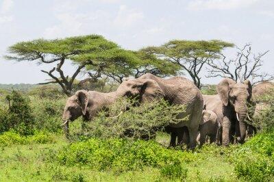 Poster  herd of elephants standing among Acacia trees on the Serengeti Savannah landscape
