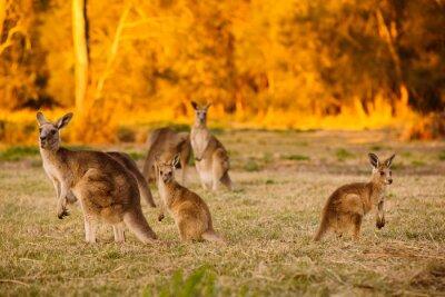 Poster Herd of kangaroos at twilight