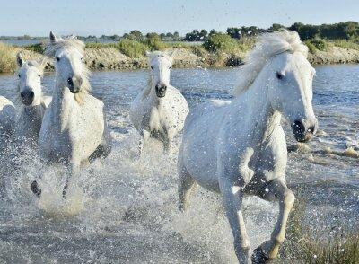 Poster Herd of White Horses Running and splashing through water