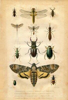 Poster Histoire naturelle : Les insectes