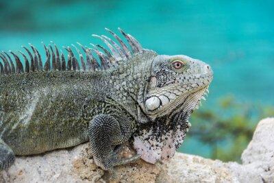 Poster Iguana at Playa Lagun, Curacao