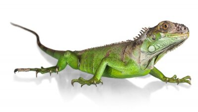 Poster Iguana, Lizard, Reptile.