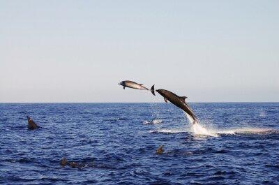 Poster Jumping Dolphins - Galapagos